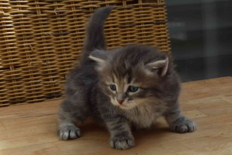 Kitten, Farbe: blue tabby spotted