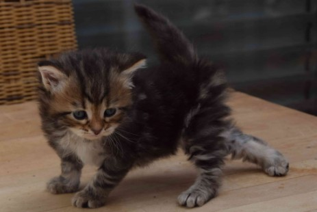 Kitten, Farbe: black (brown) tabby blotched