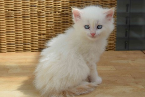 Kitten, Farbe: red tabby point